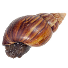 A Garden Snail (Cornu aspersum) inside a shell isolated on a white background with clipping path.