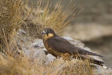 Eleonora's falcon (Falco eleonorae) with chick, Andros, Greece, September 2008