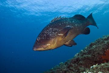 Dusky grouper (Epinephelus marginatus) Cala di Grecu, Lavezzi Islands, Corsica, France, September 2008
