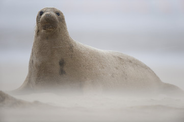 Grey seal (Halichoerus grypus) sitting on beach with wind blowing sand, Donna Nook, Lincolnshire, UK, November 2008