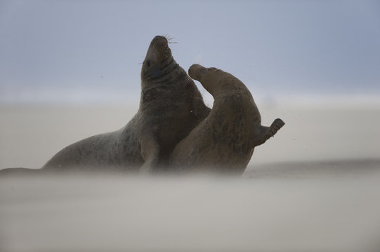 Grey seal (Halichoerus grypus) pair with wind blowing sand, Donna Nook, Lincolnshire, UK, November 2008