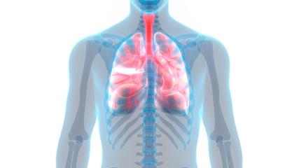 Human Body Organs (Lungs Anatomy) Anterior view