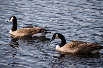 Family of geese enjoying the sunshine