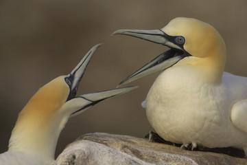 Northern gannets (Morus bassanus) fighting, Saltee Islands, Ireland, May 2008