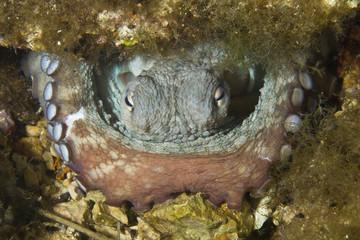 Common octopus (Octopus vulgaris) in hole, Larvotto Marine Reserve, Monaco, Mediterranean Sea, July 2009