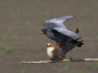 Red-footed Falcon (Falco vespertinus) mating pair, Hortobagy NP, Hungary, May 2008