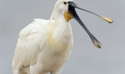 White spoonbill (Platalea leucorodia) with beak open, Pusztaszer, Hungary, May 2008