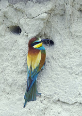 European Bee-eater (Merops apiaster) at nest hole in sand bank, Pusztaszer, Hungary, May 2008