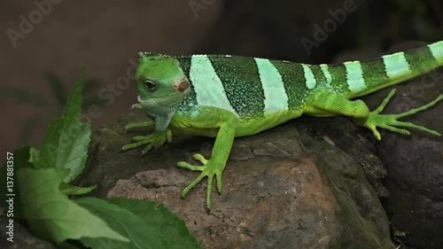 fiji banded iguana 137881357. Black Bedroom Furniture Sets. Home Design Ideas