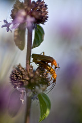 Soldier beetles (Cantharis fusca) mating on Pennyroyal (Mentha pulegium) Hortobagy National Park, Hungary, July 2009