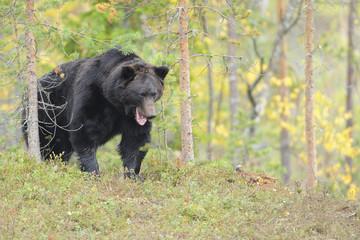 Eurasian brown bear (Ursus arctos) Kuhmo, Finland, September 2008