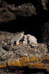 Gyrfalcon (Falco rusticolus) at nest with food for three chicks, Thingeyjarsyslur, Iceland, June 2009