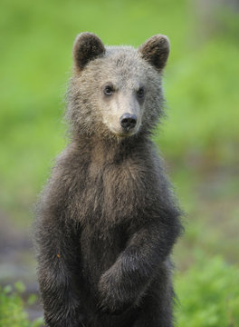 Eurasian brown bear (Ursus arctos) cub portrait, Suomussalmi, Finland, July 2008