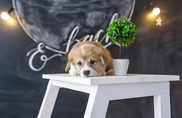 Corgi puppy lies on a chair in studio.