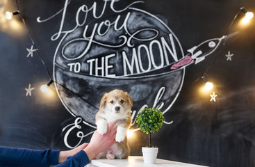 Portrait of a corgi puppy against the background of the beautiful drawing in studio. The hand of the owner holds puppy.