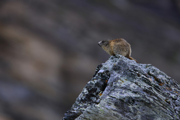 Alpine marmot (Marmota marmota) sitting on a rock, Hohe Tauern National Park, Austria, July 2008