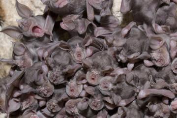 Juvenile Mehely's horseshoe bats (Rhinolophus mehelyi) roosing in cave, Bulgaria, May 2008