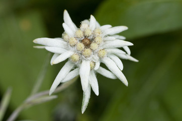 Edelweiss (Leontopodium alpinum) flower, Liechtenstein, July 2009