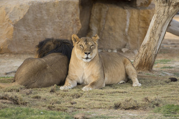 couple of lioness and lion in zoo