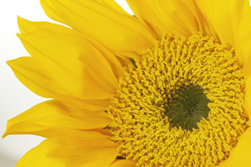 Yellow Sunflower close-up with detail of the Stigma