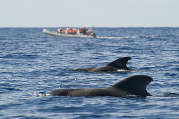 Two Short finned pilot whales (Globicephala macrorhynchus) surfacing with a small whale watching boat in the distance, Pico, Azores, Portugal, June 2009
