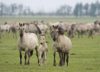 Konik horse family, Oostvaardersplassen, Netherlands, June 2009