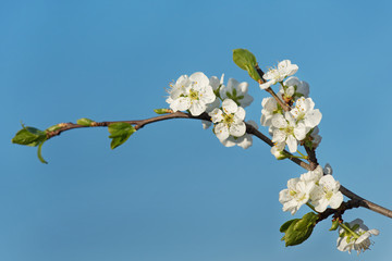 Blossoming cherry branch