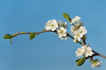 Blossoming cherry branch