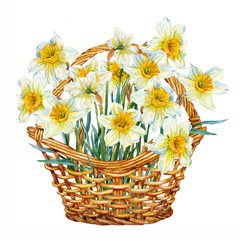 Daffodils in a basket. Greeting card. Watercolor.
