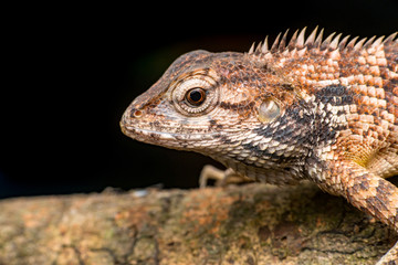 Close up of Female Oriental garden lizard (chordata: Sarcopterygii: reptilia: squamata: Agamidae: Calotes versicolor) rest on a wooden log isolated with black background