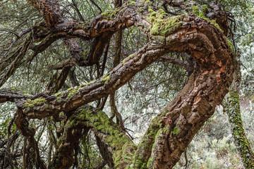Troncos retorcidos de Alcornoque. Quercus suber. Senda de los Canteros, El Bierzo.