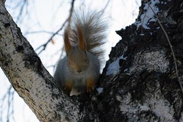 Squirrel sleeps on the birch.
