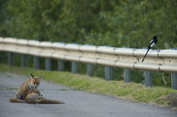 Two Urban Red foxes (Vulpes vulpes) at the edge of a road, with a Magpie (Pica pica) perched on roadside barrier, London, May 2009