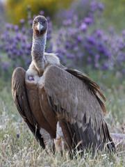 Griffon vulture (Gyps fulvus) portrait, Extremadura, Spain, April 2009