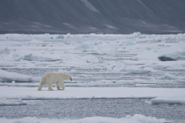 Polar bear (Ursus maritimus) on ice floe, Svalbard, Norway, September 2009