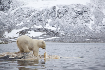 Polar bear (Ursus maritimus) feeding on dead whale carcass, Svalbard, Norway, September 2009
