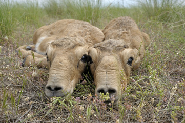 Two newborn Saiga antelope (Saiga tatarica) calves lying on ground, Cherniye Zemli (Black Earth) Nature Reserve, Kalmykia, Russia, May 2009  WWE BOOK.