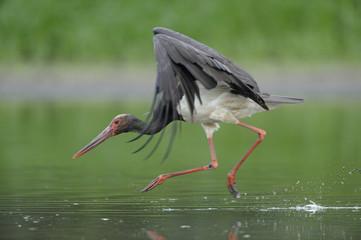 Black stork (Ciconia nigra) landing in water, Elbe Biosphere Reserve, Lower Saxony, Germany, August 2008