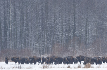 European bison (Bison bonasus) in agricultural field, Bialowieza NP, Poland, February 2009