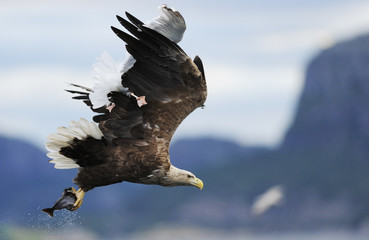 White tailed sea eagle (Haliaeetus albicilla) with fish prey being attacked by Great black-backed gull (Larus marinus) Flatanger, Norway. August 2008.WWE Mission: Sea eagles of Norway  UNAVAILABLE FOR COMMERCIAL USE WITHOUT PRIOR CONSENT