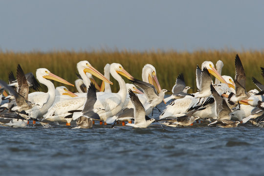 American white pelican (Pelecanus erythrorhynchos) flock in shallow water, Bolivar Peninsula, Texas, USA