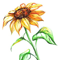 Watercolor yellow sun sunflower flower single isolated