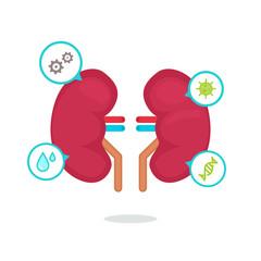 kidneys vector illustration