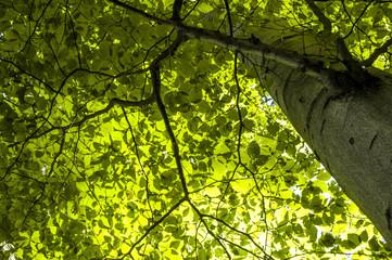 Beech tree, trunk, leaves, springtime, Austria, Vienna, 13. dist