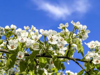 Pear tree in blossom detail, Austria, Lower Austria, Mostviertel