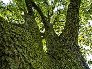Old oak-tree
