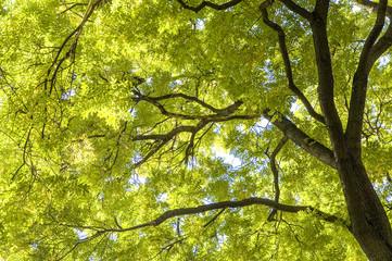 Ash tree, fraxinus, Austria, Vienna, 1. district, city hall