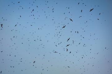 Flock of birds. Swifts arrived