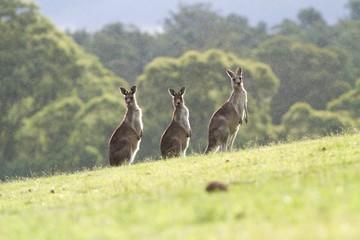 Foto op Aluminium Kangoeroe Three kangaroos standing in light rain