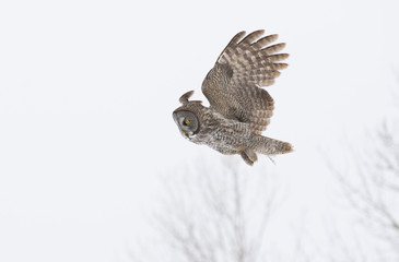Great grey owl hunting over a snow covered field (Strix nebulosa)